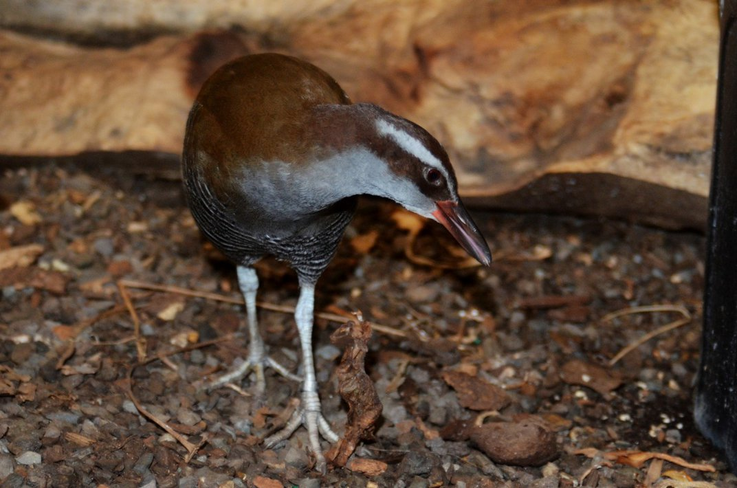 A small, brown, flightless bird (called a Guam rail) stands in its mulchy habitat at the Smithsonian Conservation Biology Institute in Front Royal, Virginia