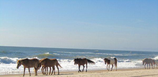 Wild horses walking along the Assateague Island National Seashore. thumbnail