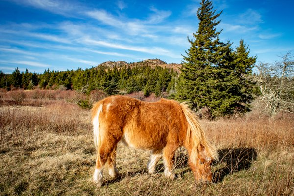 Wild pony grazing thumbnail