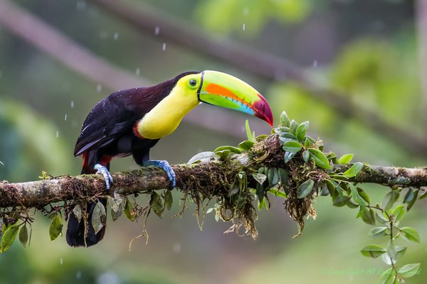 Keel-Billed Toucan thumbnail