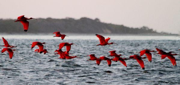 Scarlet Ibis (Guará). thumbnail