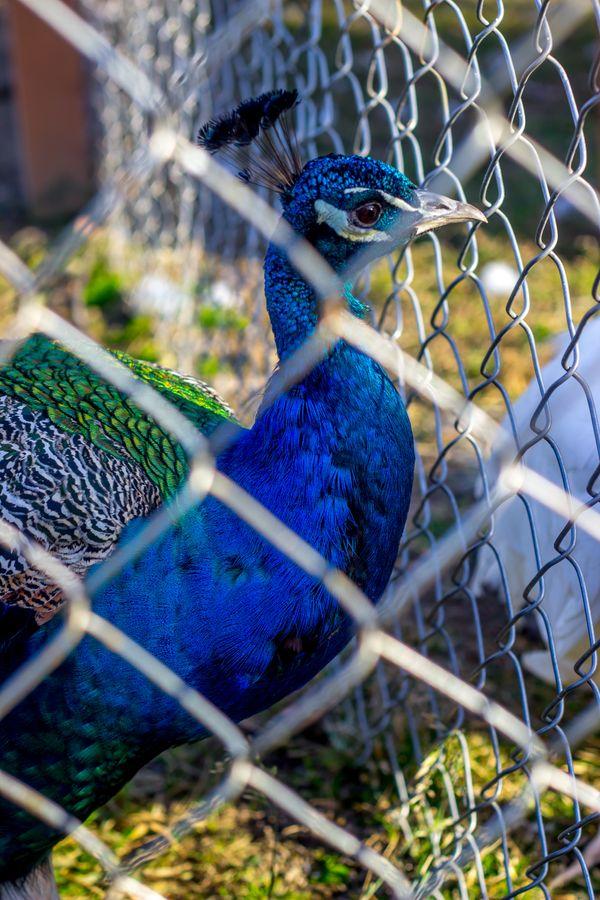 Caged Peacock thumbnail