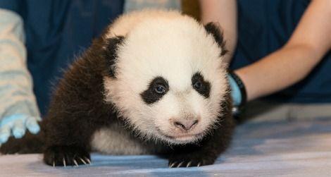 Panda-cub-nov15-crawling-470.jpg