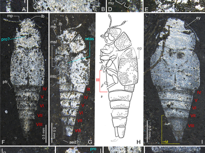 Images and measurements of the fossil beetle that revealed it was a different kind of beetle than originally thought.