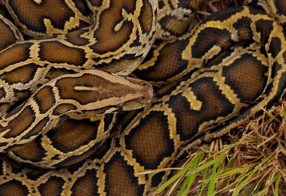 A close-up photo of a Burmese python in grass. It is coiled up in the grass, and it has dark brown splotches on light brown scales.