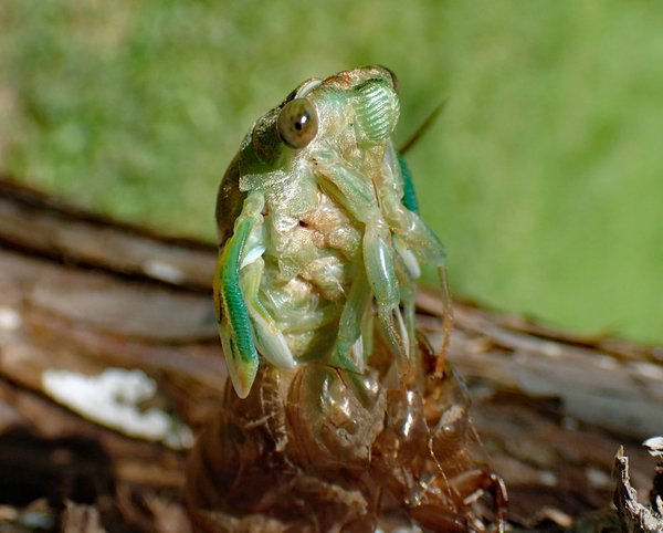 Cicada metamorphosis thumbnail