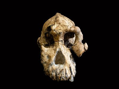 The remarkably complete skull of a human ancestor of the genus Australopithecus
