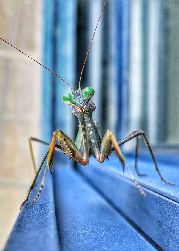Smiley mantis on my window thumbnail
