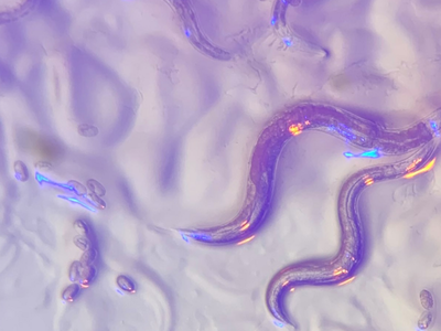 C. elegans are roundworms that are about one millimeter long and commonly used in scientific experiments as model organisms.