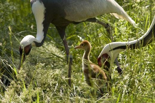 National-Zoo-White-naped-crane-chick.jpg