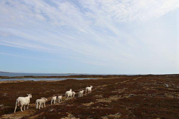 Caravan of Sheeps thumbnail