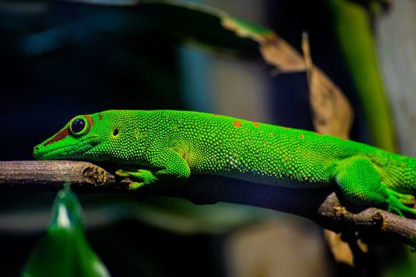 Vibrant Gecko  thumbnail