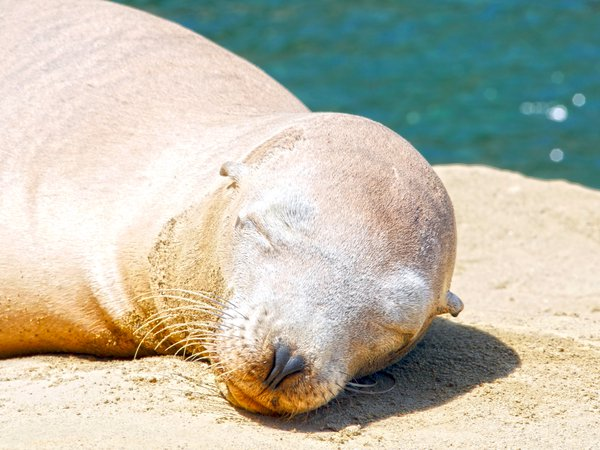 Sea Lion taking a sun nap in La Jolla, CA thumbnail