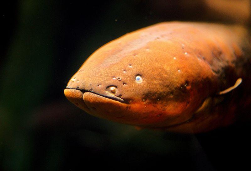 electric-eel.jpg
