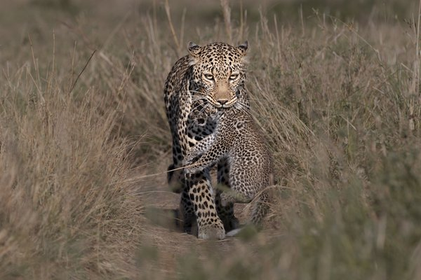 Leopard carrying her cub thumbnail