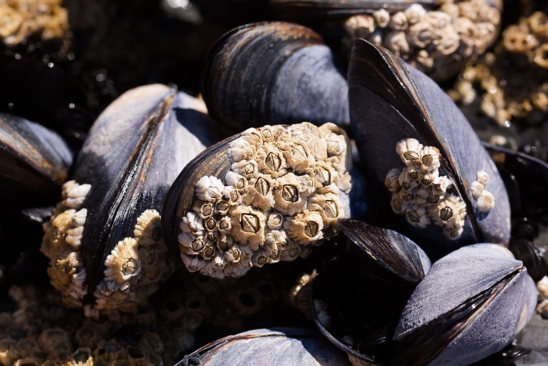 A cluster of barnacles growing on the shells of muscles