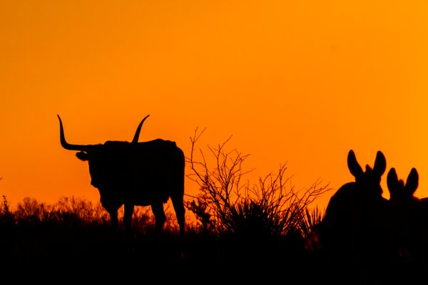 At sunset, a Texas longhorn bull on the horizong in a standoff with two donkies.   thumbnail