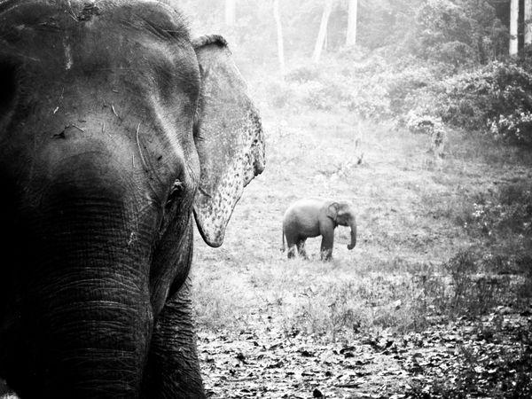Asian elephants in Chiang Mai thumbnail