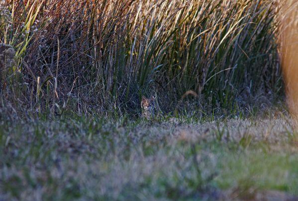 Bobcat Kitten thumbnail