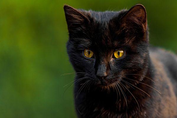 The Black Cat thumbnail