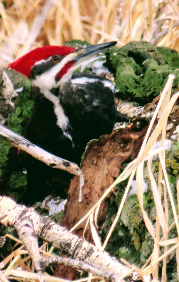 Pileated Woodpecker in Strathmore, AB  thumbnail