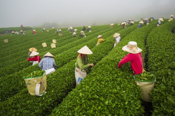 Harvesting tea in Moc Chau thumbnail