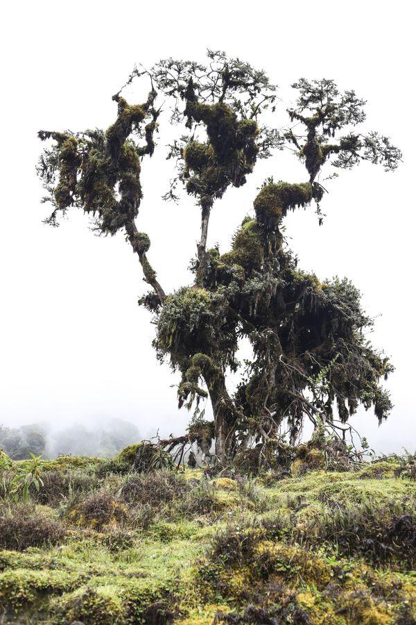 Moor's Tree thumbnail