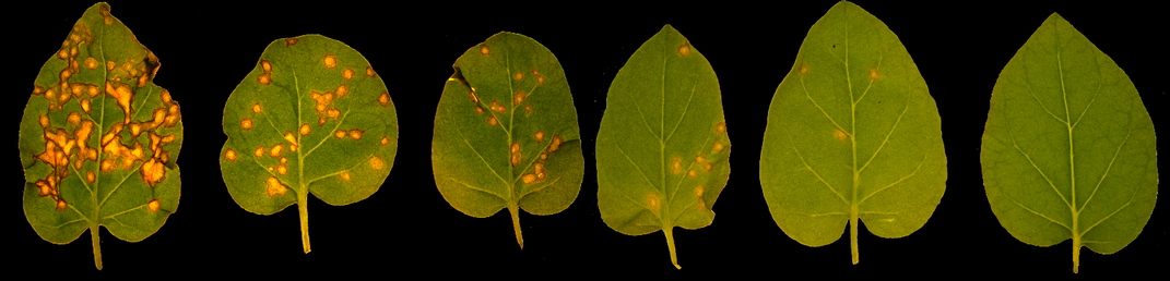 How a Few Sick Tobacco Plants Led Scientists to Unravel the Truth About Viruses