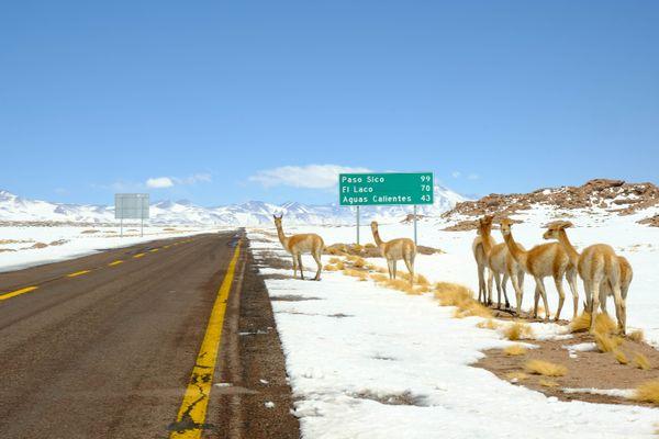 Vicuñas in the Altiplanic Lagoons thumbnail