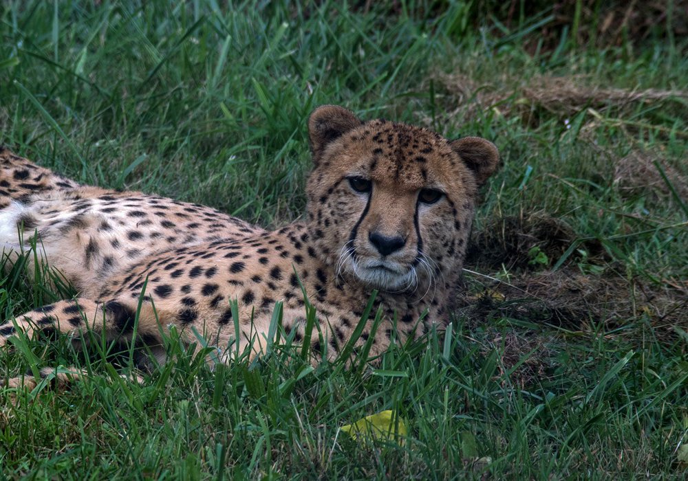 The first cheetah cub born at the Smithsonian Conservation Biology Institute celebrated his 10th birthday last year, marking a decade of the facility's successful cheetah breeding program.
