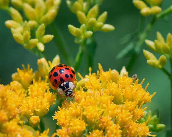 Asian lady beetle on yellow flowers thumbnail