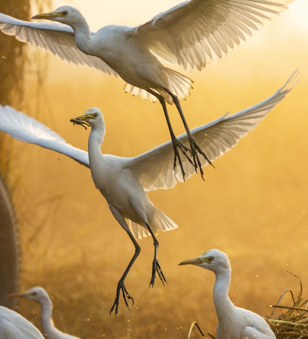 Feeding Moment of Cattle Egrets thumbnail