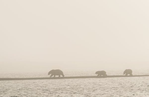 Polar Bear Family in Fog thumbnail