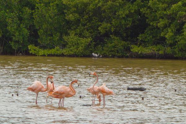American Flamingos  thumbnail