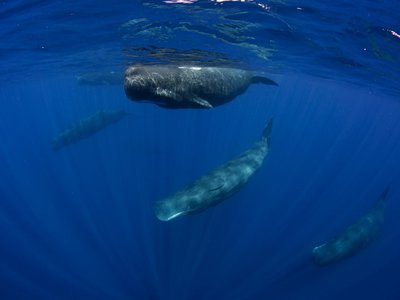 The monument protects an array of endemic, threatened and endangered species, including the sperm whale.
