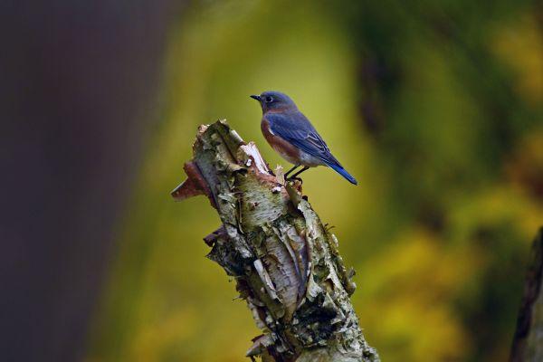 Bluebird in the bayou thumbnail