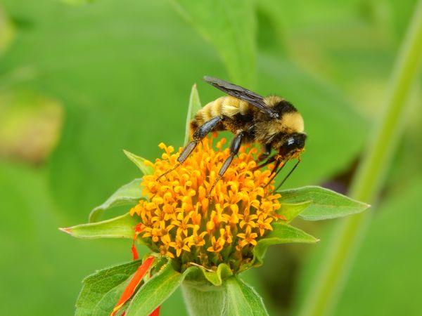 Mr. Bumblebee  thumbnail