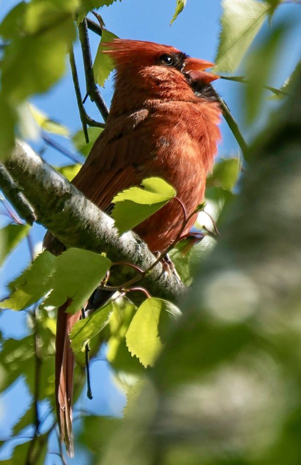 Cardinal in late afternoon sun-- thumbnail