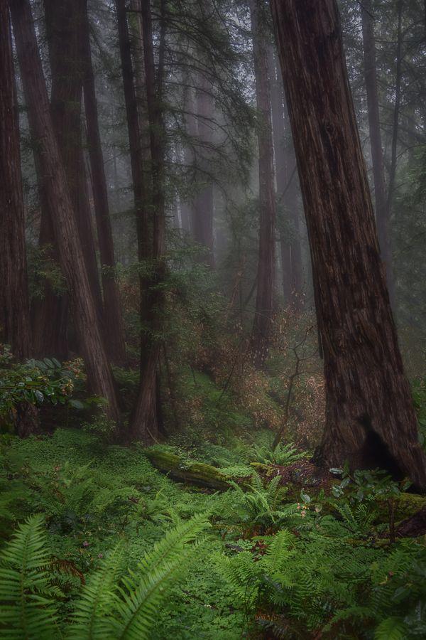 Muir Woods Redwoods thumbnail