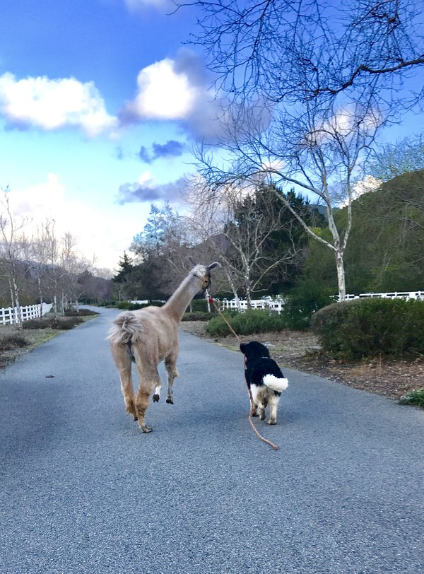 The puppy walks the llama  thumbnail