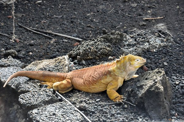 Rust and Mustard Colored Iguana thumbnail