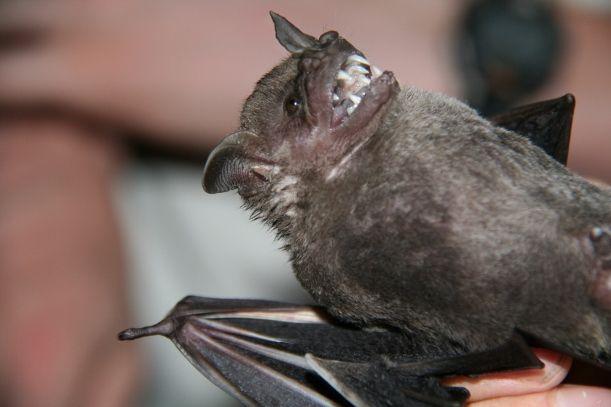 Bats-Barro-Colorado-Island