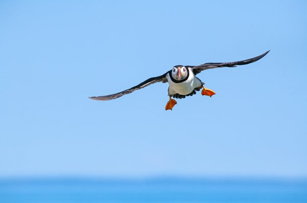 Puffin Landing on a Sunny Day thumbnail