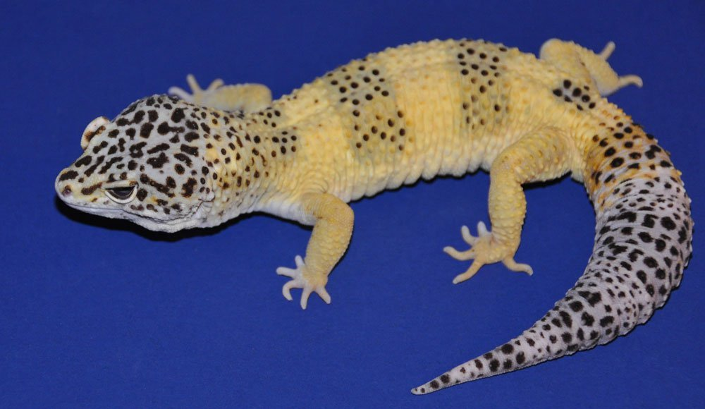 A close up of Mr. Frosty, a lemon frost variant of leopard gecko. The gecko has black spots on its head, tail and two segments on its body, The rest of the geckos skin color is yellow.