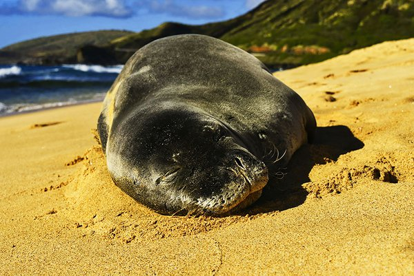 Sleeping Seal thumbnail