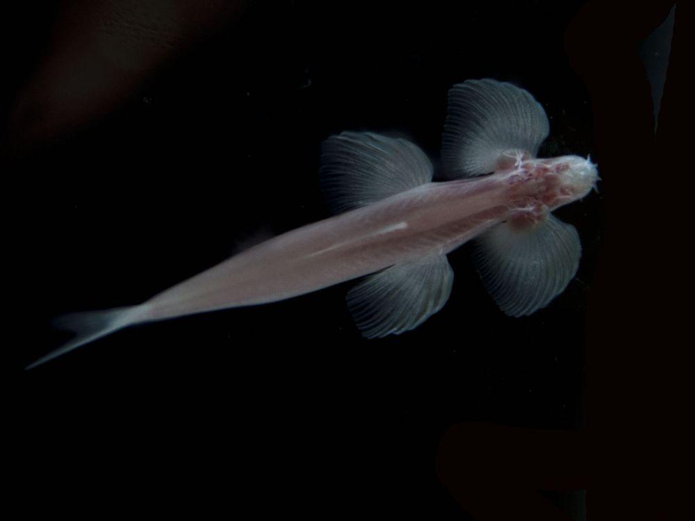 Walking Cave Fish