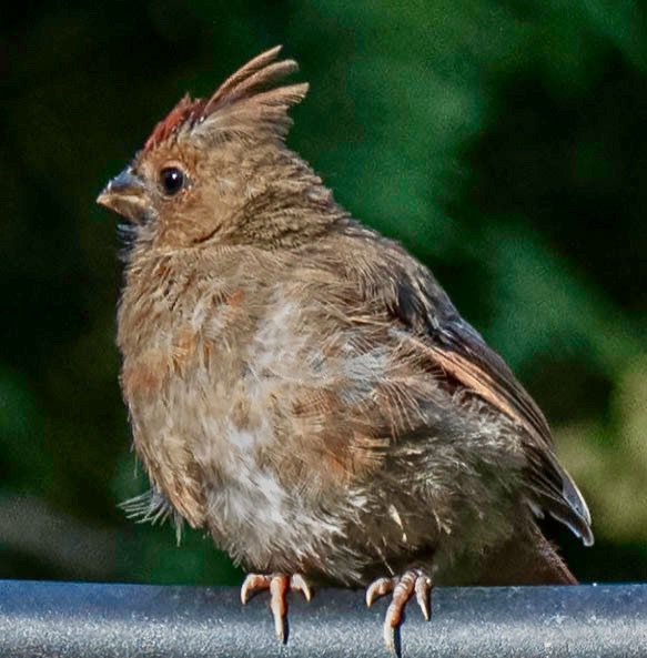 Juvenile cardinal-- thumbnail