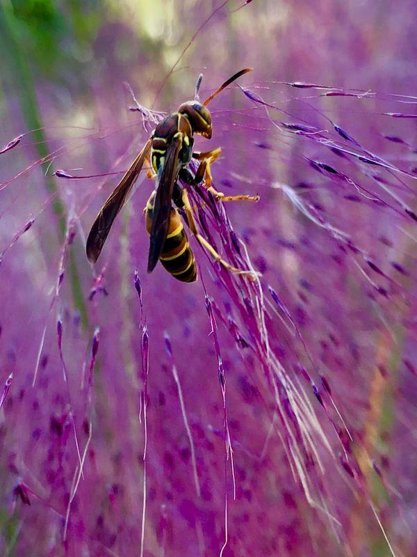 Pink Wasp thumbnail