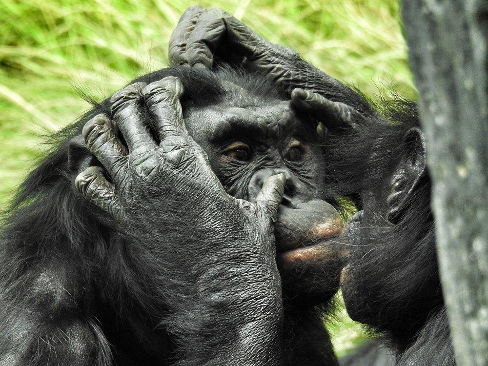 A close-up image of a bonobo getting groomed by another bonobo