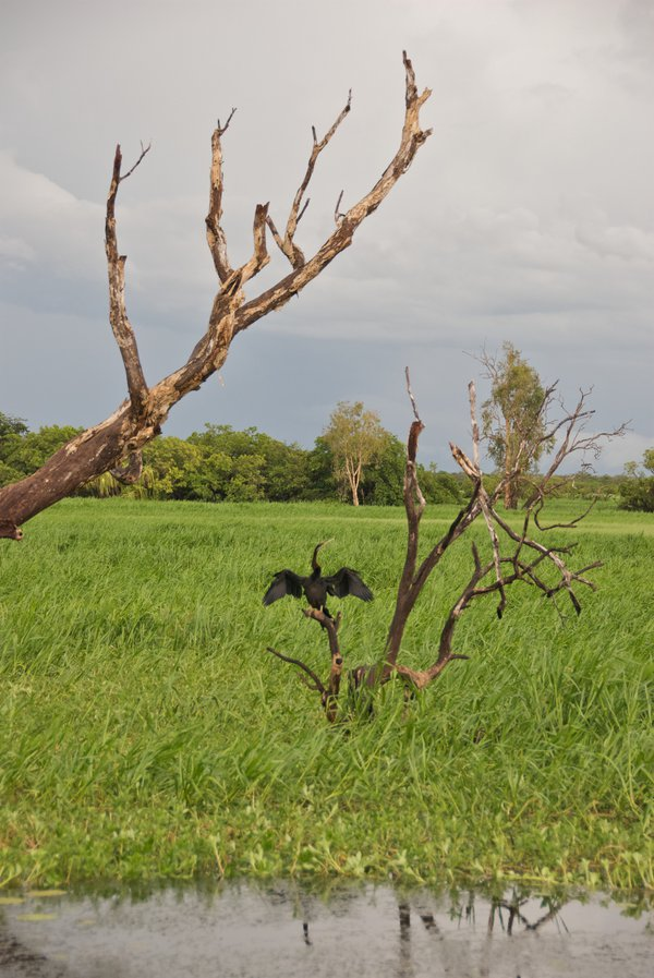 Drying cormorant on a stormy afternoon in Kakadu National Park, Australia thumbnail